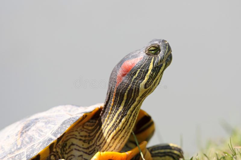 Download Face of turtle stock image. Image of quebec, amphibian - 24895175