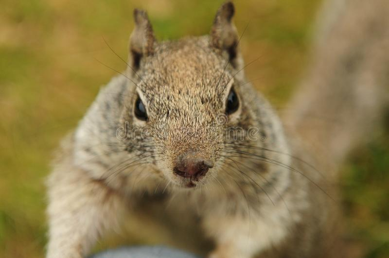 Cute American Squirrel Face View stock photography