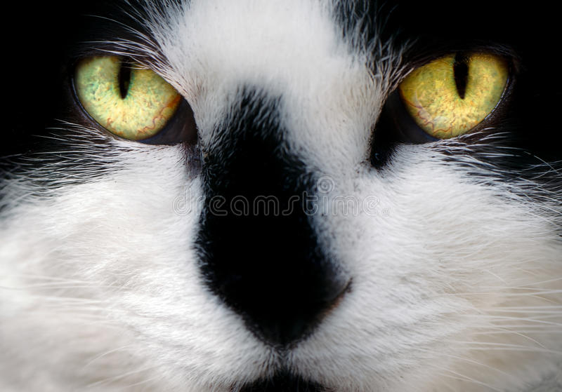 Face of White and Black Cat. A pretty white and black female cat's face shown very close up with bright and alert amber and green eyes and cute smudge nose stock photography