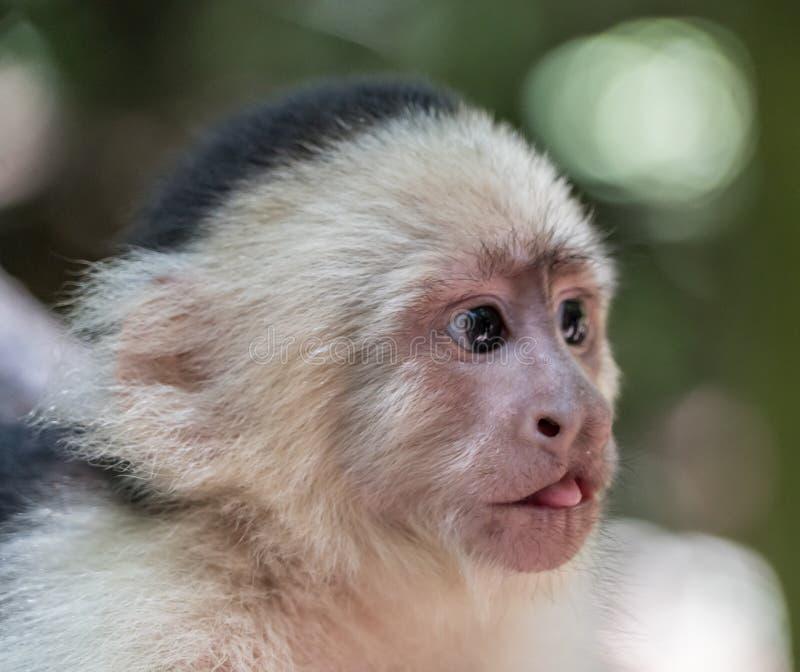 Face, White Headed Capuchin, Fauna, Mammal royalty free stock photography