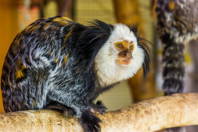 The face of a white headed marmoset in closeup, a tropical monkey from brazil, popular zoo animals. The face of a white headed marmoset in closeup, a tropical stock image