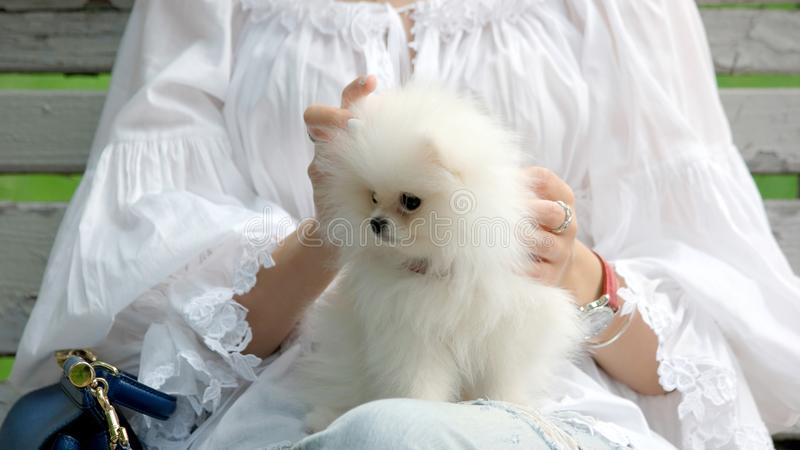 Faceless woman with cute white pomeranian puppy. stock photo