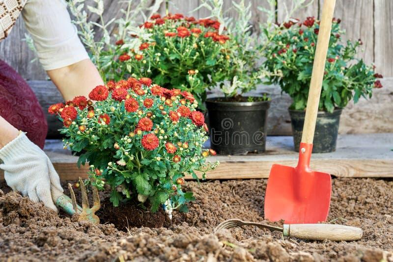 Facendo il giardinaggio in estate Le mani femminili che piantano il giardino fiorisce nel giardino nella sera dell'estate fotografia stock