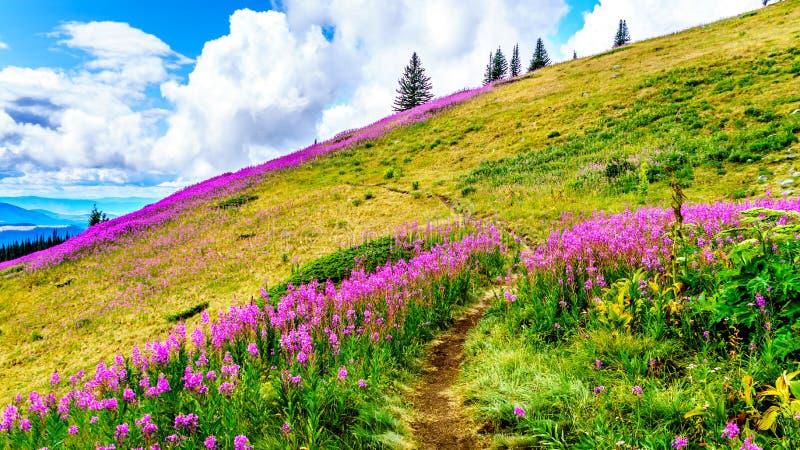 Facendo un'escursione attraverso i prati alpini coperti nei wildflowers rosa dell'epilobio nell'alto alpino fotografia stock