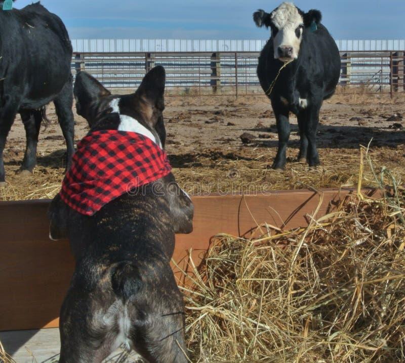 Faceoff för fransk bulldogg och ko arkivfoton