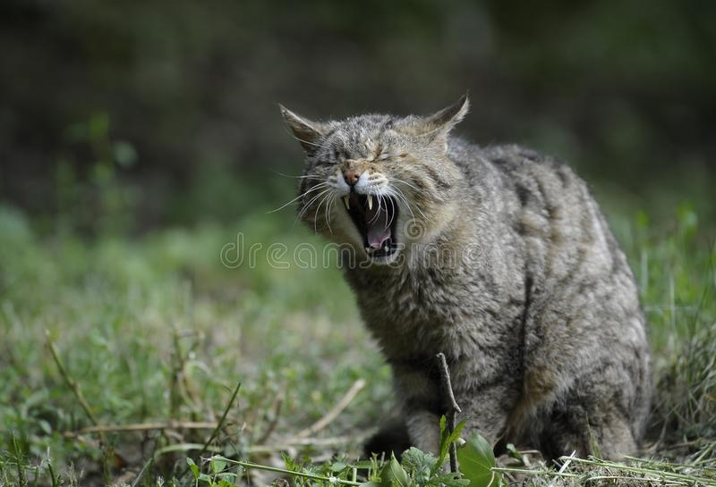 Facial Expression, Wild Cat, Mammal, Fauna royalty free stock image