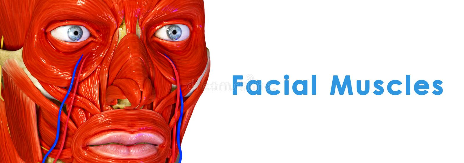 Facial Muscles stock illustration