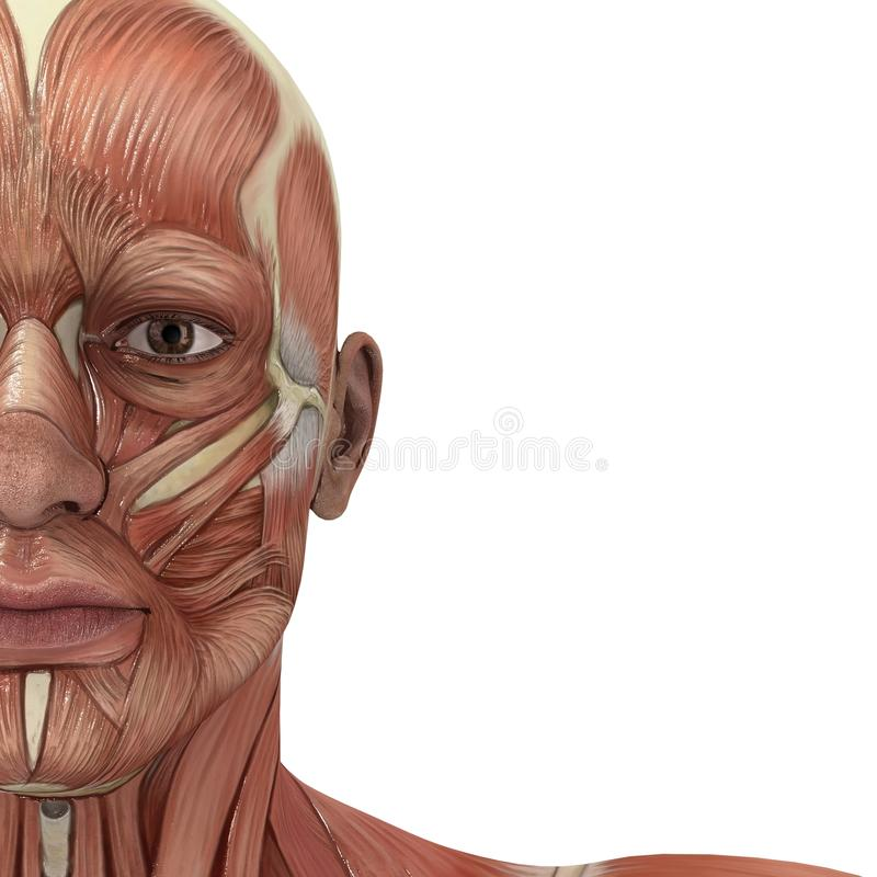 Facial Muscles. A male model showing the muscles and his flexibility vector illustration