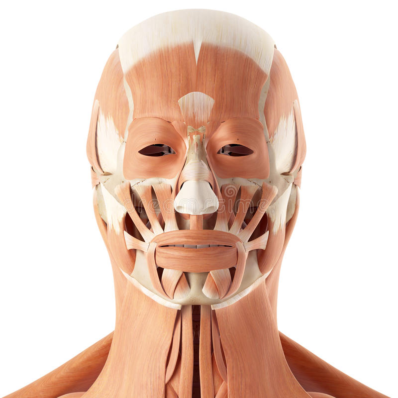 The Facial Muscles Stock Illustration Illustration Of Healthy