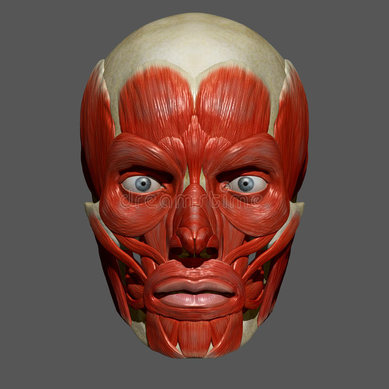 facial muscles stock illustration - image: 56141153, Human Body