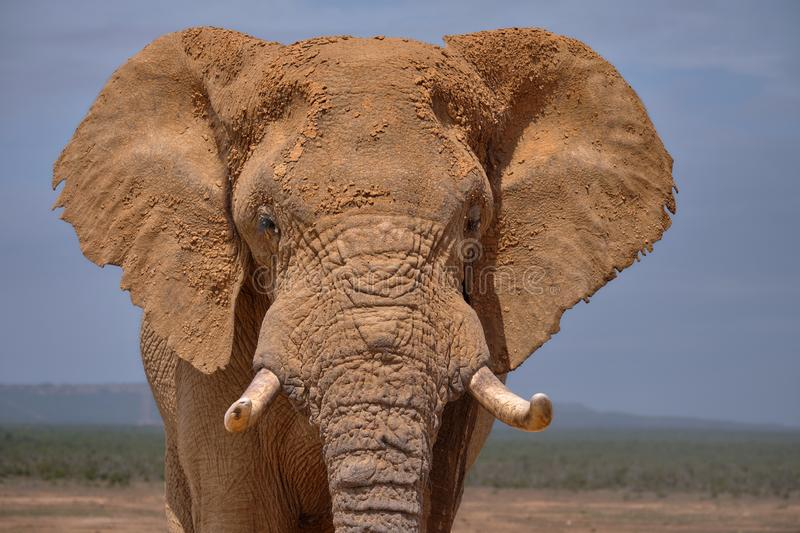 Facial portrait of large African Elephant bull. royalty free stock image