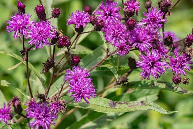"""Faciculata di Vernonia del †comune del Ironweed """" immagini stock libere da diritti"""