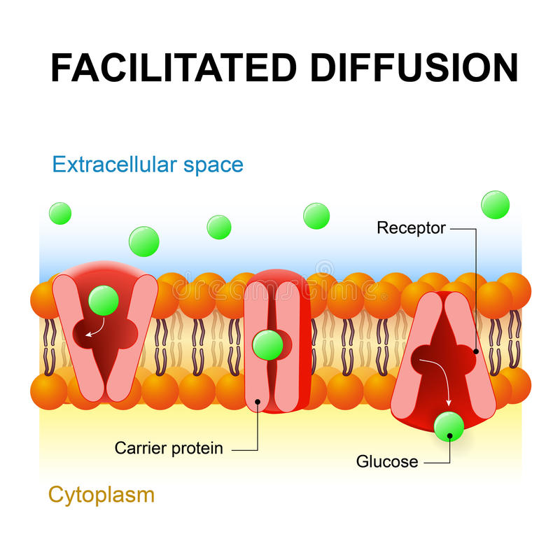 Facilitated diffusion or passive-mediated transport vector illustration