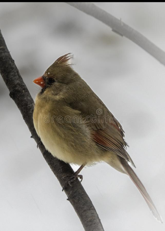 Facing Left cardinal femenino foto de archivo