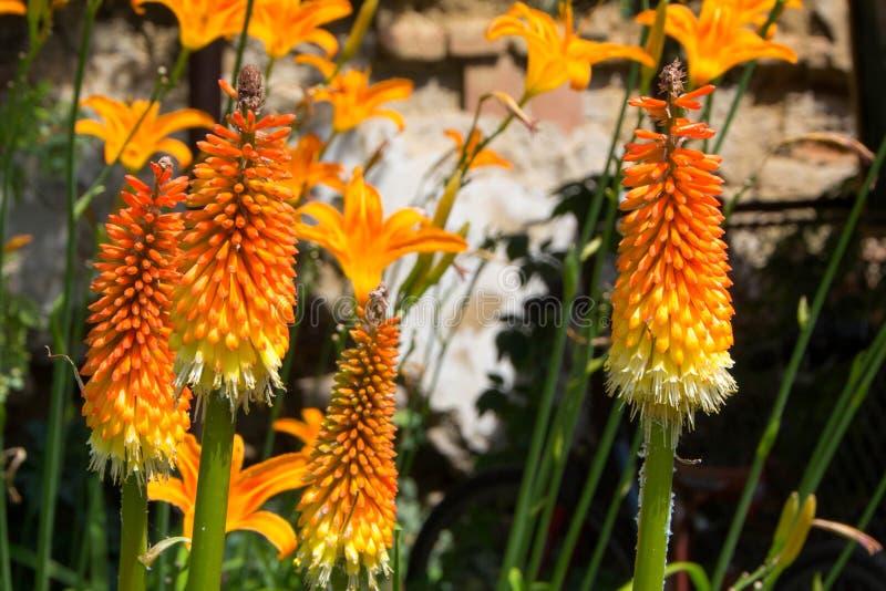 Fackla Lily Flower royaltyfri bild