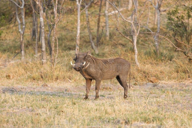 Download Facocero Comune, (africanus Del Phacochoerus), Fotografia Stock - Immagine di animale, standing: 56885920
