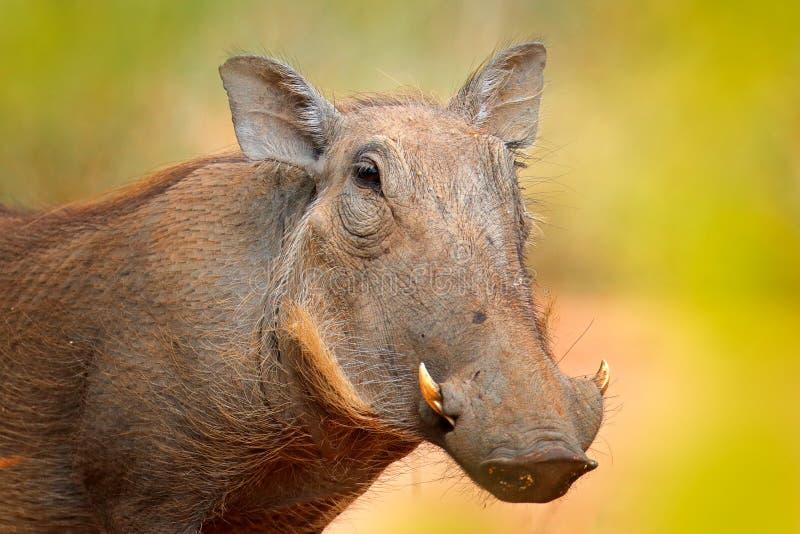 Facocero comune, maiale selvaggio marrone con la zanna Dettaglio del primo piano dell'animale nell'habitat della natura Natura su fotografia stock