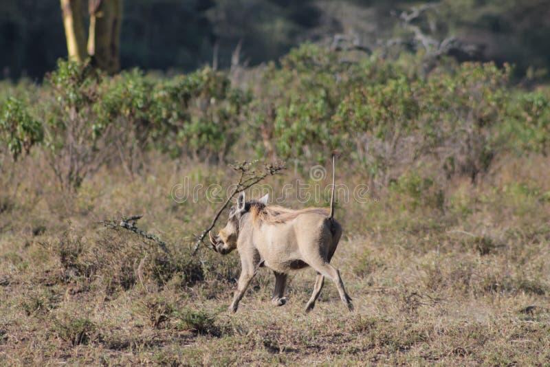 Facocero nel parco nazionale del gioco dell'Africa fotografia stock libera da diritti