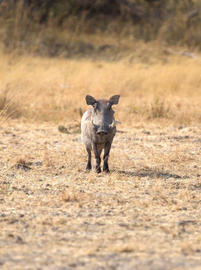 Facocero nella Kalahari immagini stock libere da diritti