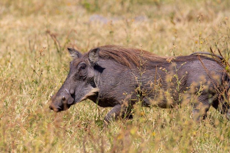 Facocero nella riserva di Chobe, fauna selvatica di safari del Botswana fotografia stock