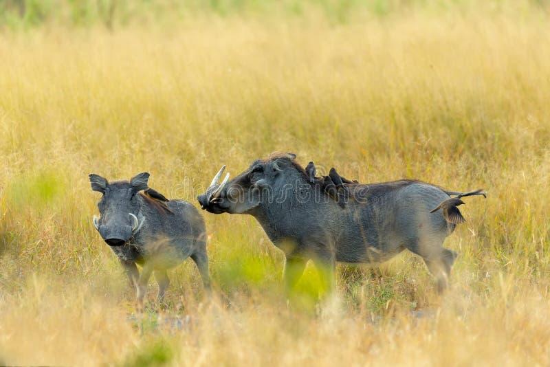 Facocero nella riserva di Moremi, fauna selvatica di safari del Botswana fotografia stock libera da diritti