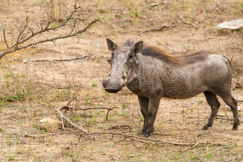 Facocero ( Phacochoerus africanus) , il Sudafrica contenuto fotografia stock