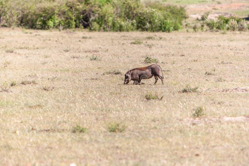 Facocero sul parco nazionale del Kenya l'africa immagine stock