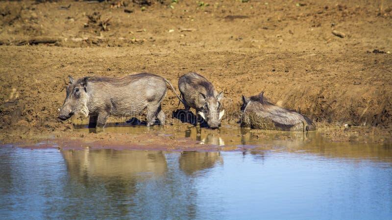 Facoquero común en el parque nacional de Kruger, Suráfrica fotografía de archivo
