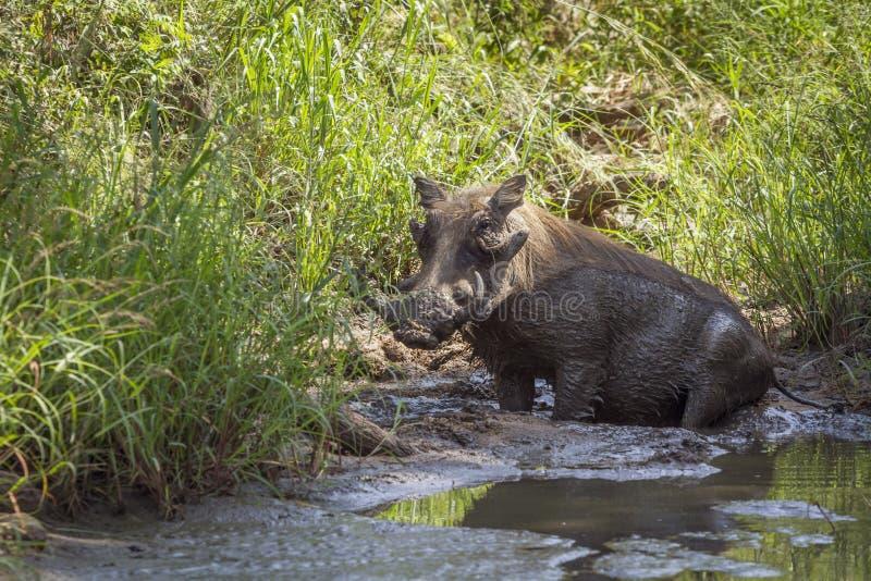 Facoquero com?n en el parque nacional de Kruger, Sur?frica fotografía de archivo