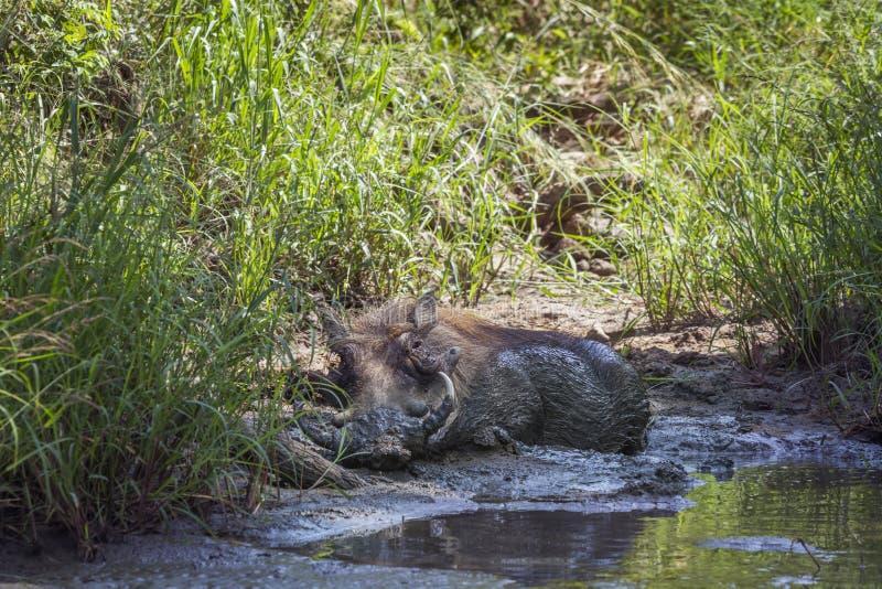 Facoquero com?n en el parque nacional de Kruger, Sur?frica foto de archivo