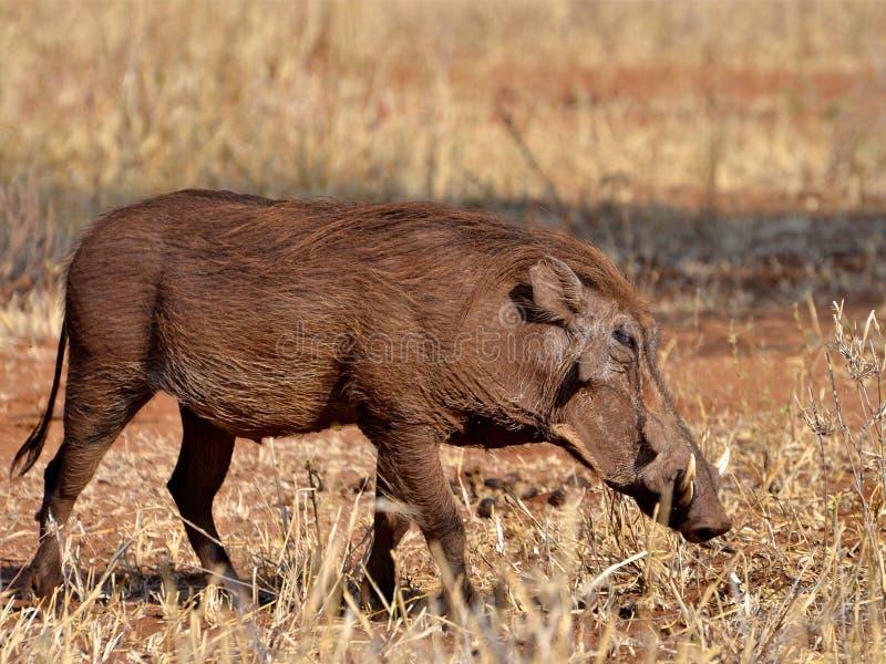 Facoquero en el parque nacional de Tanzania fotos de archivo libres de regalías