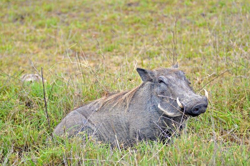 Facoquero en el parque nacional de Tanzania foto de archivo libre de regalías
