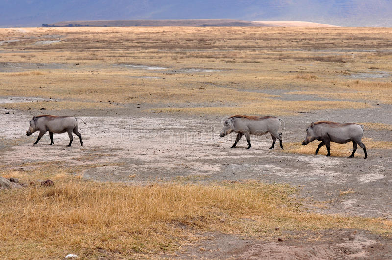 Facoquero en el parque nacional de Tanzania imagen de archivo libre de regalías