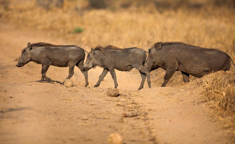 Facoquero en el parque nacional de Tanzania imagen de archivo