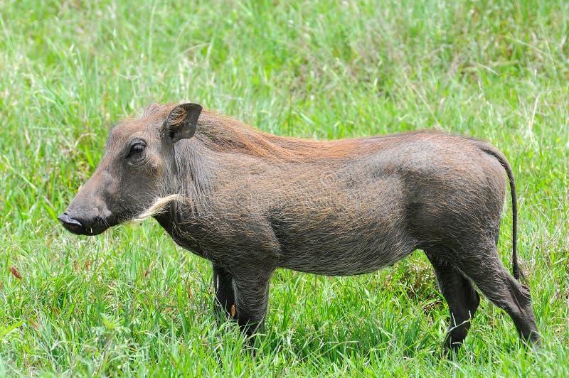 Facoquero en el parque nacional de Tanzania fotografía de archivo libre de regalías