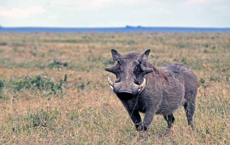 Facoquero en el parque nacional de Tanzania foto de archivo