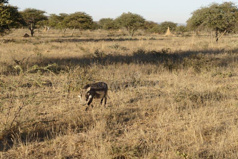 Facoquero patilludo blanco camuflado en prado seco con los árboles del acacia y los montones de la termita en la reserva de natur fotografía de archivo