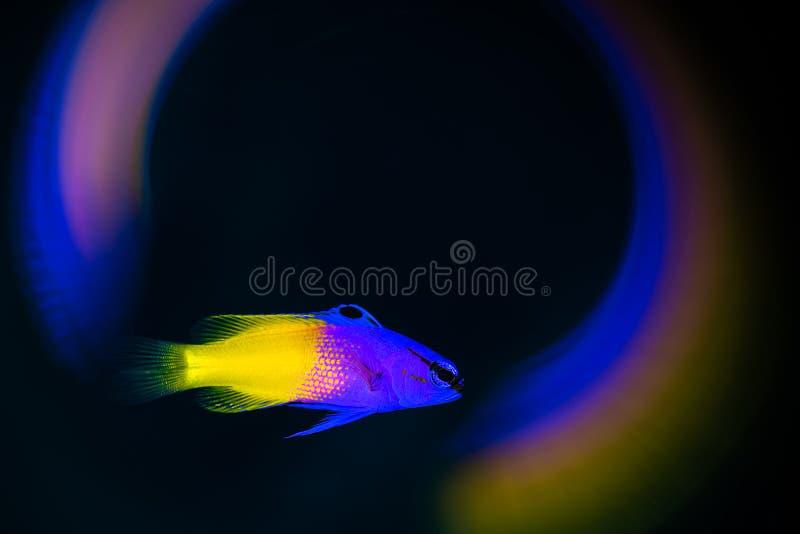Fada Basslet com redemoinhos coloridos em torno dele fotos de stock
