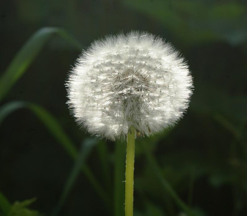 A faded dandelion. Compact ideal form of seed placement. stock photo