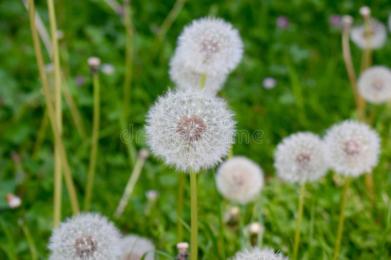 Faded dandelions on a meadow royalty free stock images