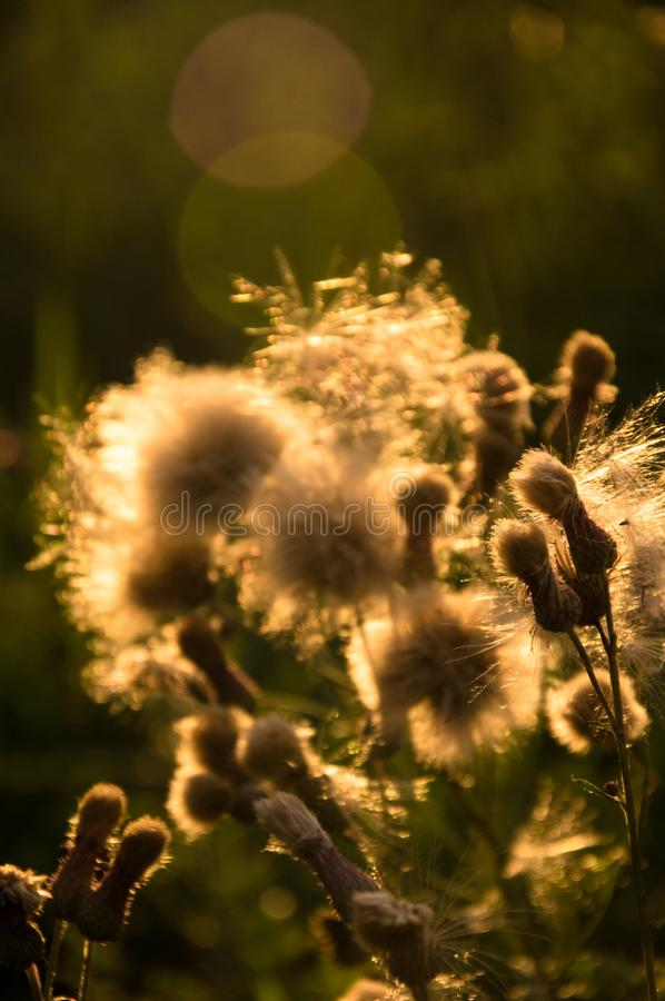 The faded flower in sunset. On the meadow near Arnoštov, Pecka, Czech republic royalty free stock photography