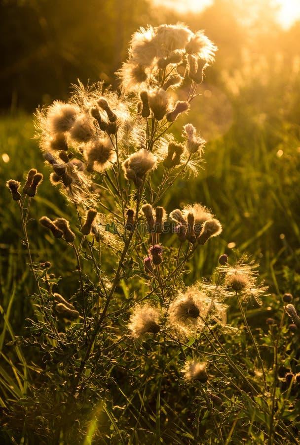 The faded flower in sunset. On the meadow near Arnoštov, Pecka, Czech republic stock image