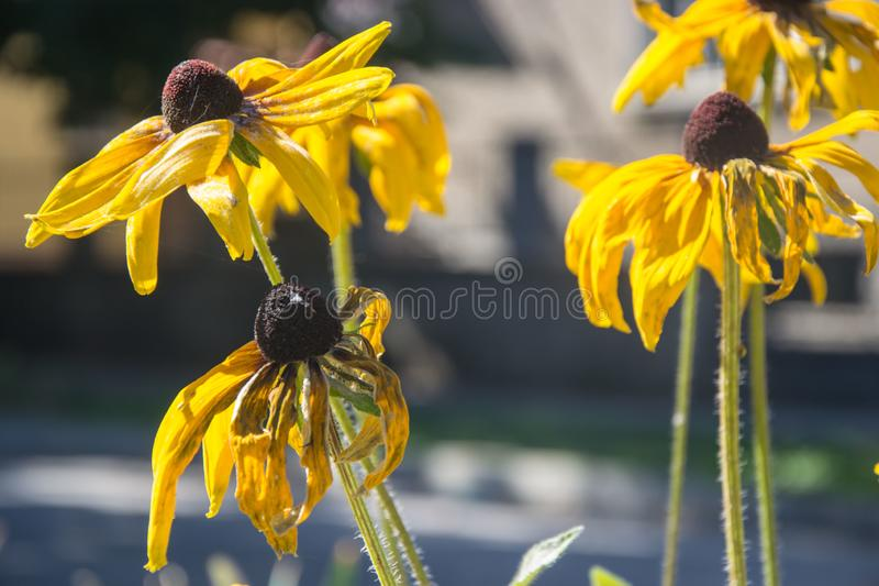 Black-Eyed Susan Rudbeckia Hirta yellow flowers with blurred background. Blooming fade, autumn flower bed, selective focus stock images