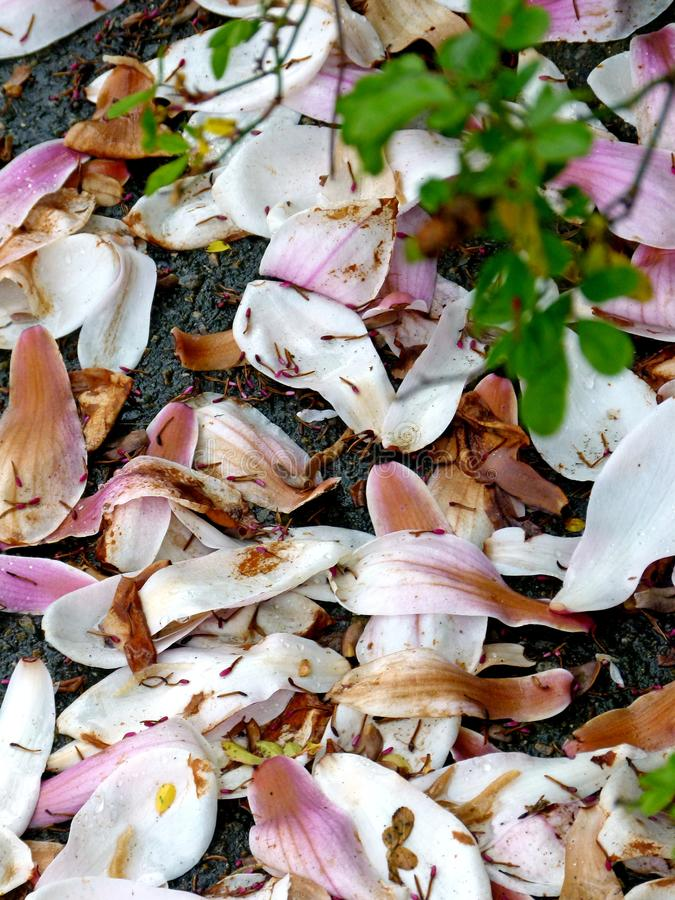 Faded magnolia petals on the garden floor. Withering magnolia blossoms on the ground after a short bloom, faded magnolia petals have fallen to the Ground, cycle royalty free stock images
