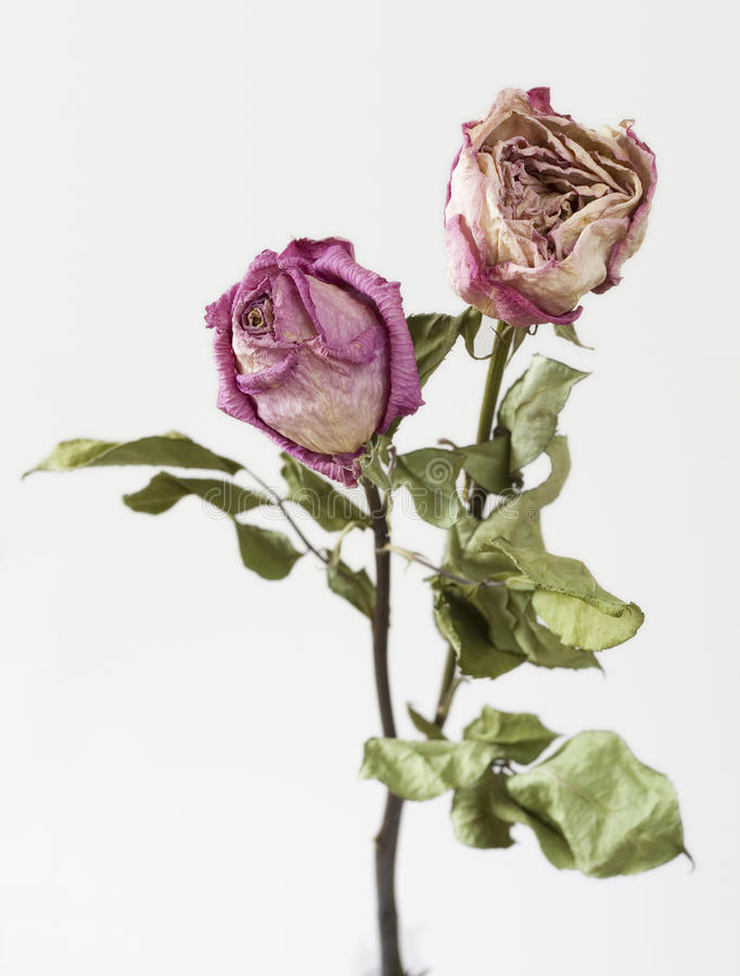 Faded pink roses, isolated royalty free stock image