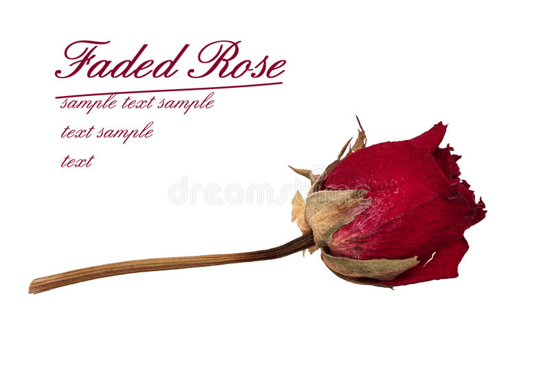 Faded Rose - Time Passes Metaphor Royalty Free Stock Photo