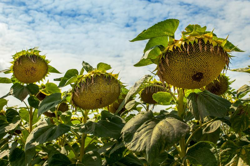 Faded sunflowers at sky background. Ripe sunflowers on the field, sky background stock photo