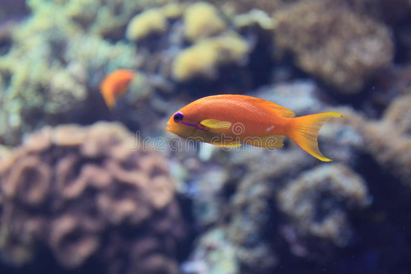 Fadenfisch goldie lizenzfreie stockbilder