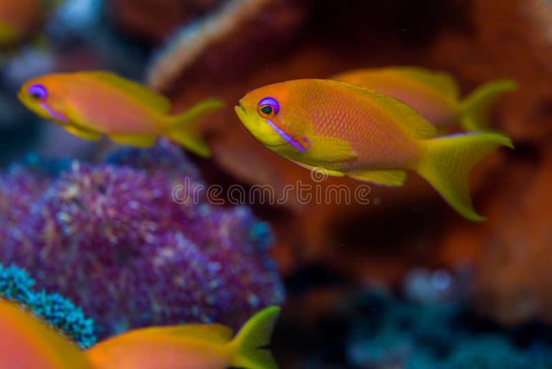 Fadenfisch Goldie-Mannesabschluß oben stockbild