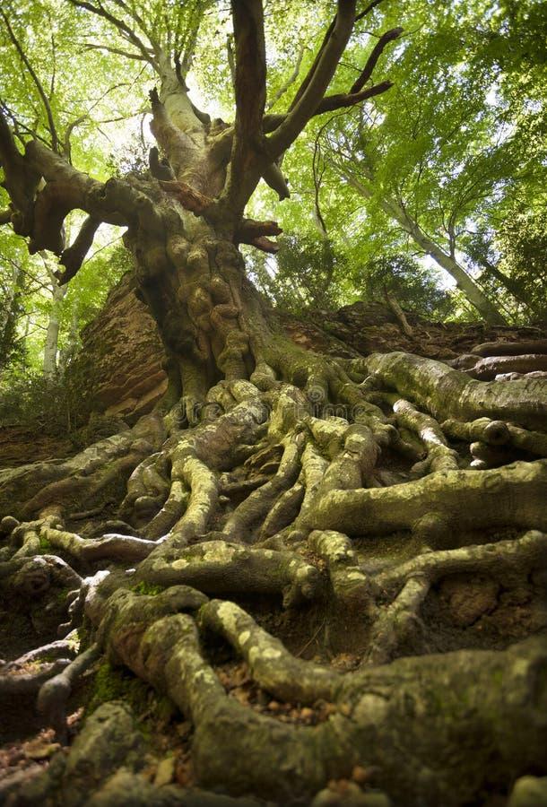 Faderbokträd royaltyfria bilder